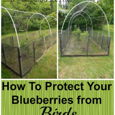 Protecting Blueberries from the Birds